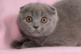 Foto 3 Süße Scottish Fold und Britisch Kurzhaar(BKH) Kitten!