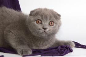 Foto 4 Süße Scottish Fold und Britisch Kurzhaar(BKH) Kitten!