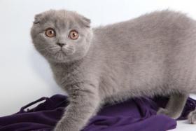 Foto 6 Süße Scottish Fold und Britisch Kurzhaar(BKH) Kitten!