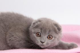 Foto 7 Süße Scottish Fold und Britisch Kurzhaar(BKH) Kitten!