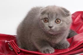 Foto 8 Süße Scottish Fold und Britisch Kurzhaar(BKH) Kitten!