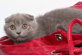 Foto 9 Süße Scottish Fold und Britisch Kurzhaar(BKH) Kitten!