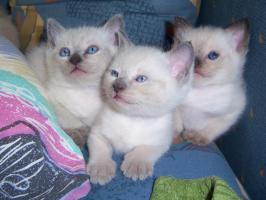 Süße Siam-Kitten