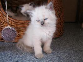 Foto 2 Süße Siam-Kitten