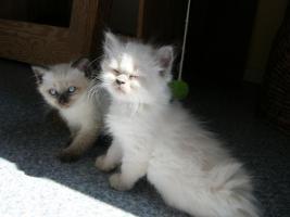 Foto 3 Süße Siam-Kitten