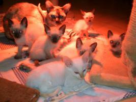 S�sse Siam und Tonkanesen Kitten suchen einen neuen Kuschelplatz bei liebevollen Dosen�ffnern!