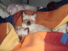Foto 2 Süße Siam babys