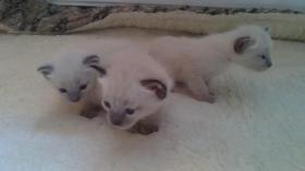 Foto 2 Süsse Siamkätzchen: 11 Wochen alt,