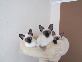 Süße Siamkatzenbabys