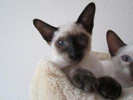 Foto 2 Süße Siamkatzenbabys