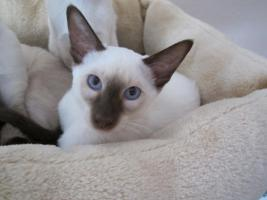 Foto 3 Süße Siamkatzenbabys