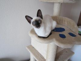 Foto 4 Süße Siamkatzenbabys