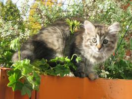 Foto 2 Süße Sibirische Katzenkinder