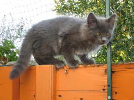 Foto 3 Süße Sibirische Katzenkinder