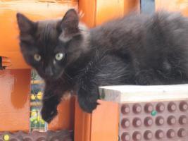 Foto 4 Süße Sibirische Katzenkinder