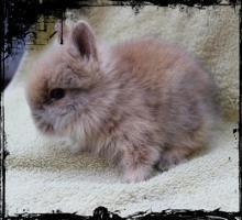 Foto 8 Süße Teddyzwerge (Zwergkaninchen) Hasenbabys