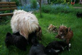 Süße Tibet-Terrier-Welpen