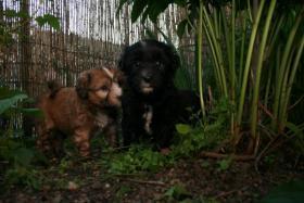 Foto 2 Süße Tibet-Terrier-Welpen