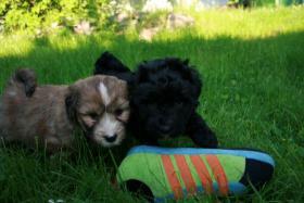 Foto 4 Süße Tibet-Terrier-Welpen