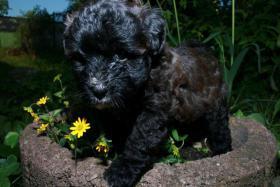 Foto 6 Süße Tibet-Terrier-Welpen