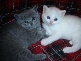 Süsse Verschmuste BKH Kätzchen mit Stammbaum