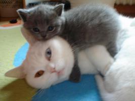 Foto 2 Süsse Verschmuste BKH Kätzchen mit Stammbaum
