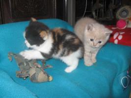 Foto 8 Süsse Verschmuste BKH Kätzchen mit Stammbaum