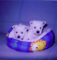 Foto 2 Süsse Westhighland Terrier Welpen mit Stammbaum, geimpft, gechipt !
