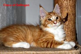 Foto 4 Süße XXL Maine Coon Kitten