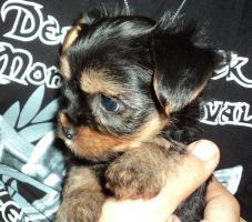 Foto 3 Süsse Yorkshire-Terrier