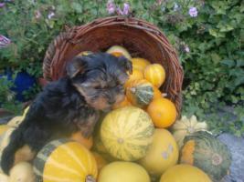 Süsse Yorkshire-Terrier Welpen