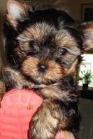 Süsse Yorkshire-Terrier Welpen in liebevolle Hände abzugeben