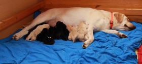 Foto 3 Süße gelbe und schwarze Labrador Welpen!