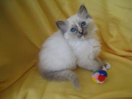 Süße heilige Birma Kitten, Katze