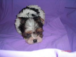 Foto 2 Süße kleine Biewer Yorkshire Terrier Welpen