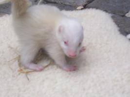 Süße kleine Skunk Babys