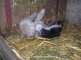 Foto 2 Süße kleine Skunk Babys