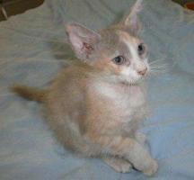 Foto 2 Süße lockige Kätzchen