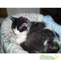 Foto 3 Süße lockige Kätzchen