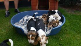 Foto 2 Süße reinrassige Beagle Welpen Tricolor suchen noch