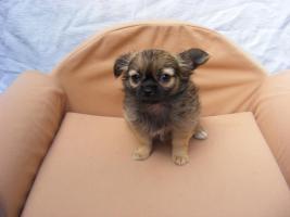 Foto 3 Süsse reinrassige Chihuahuawelpen LH
