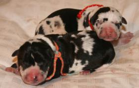 Foto 3 Süße reinrassige Deutsche Doggenwelpen suchen schon bald liebevolles neues zu Hause