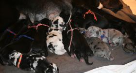 Foto 6 Süße reinrassige Deutsche Doggenwelpen suchen schon bald liebevolles neues zu Hause