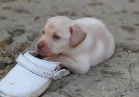 Foto 2 S��e reinrassige Labradorwelpen!