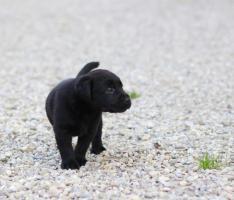 Foto 4 S��e reinrassige Labradorwelpen!