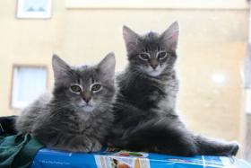 S��e reinrassige Maine Coon Babys!!!!