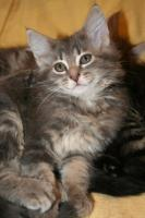 Foto 2 S��e reinrassige Maine Coon Babys!!!!