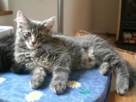 Foto 3 S��e reinrassige Maine Coon Babys!!!!
