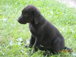 Foto 4 Süsse schwarze Labrador Babys mit gratis Lieferung!