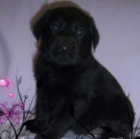 Süße schwarze LabradorWelpen GÜNSTIG abzugeben...